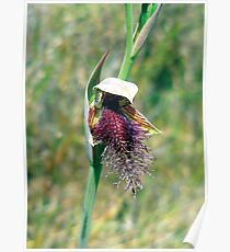 bearded swamp orchid or swamp beard orchid Poster