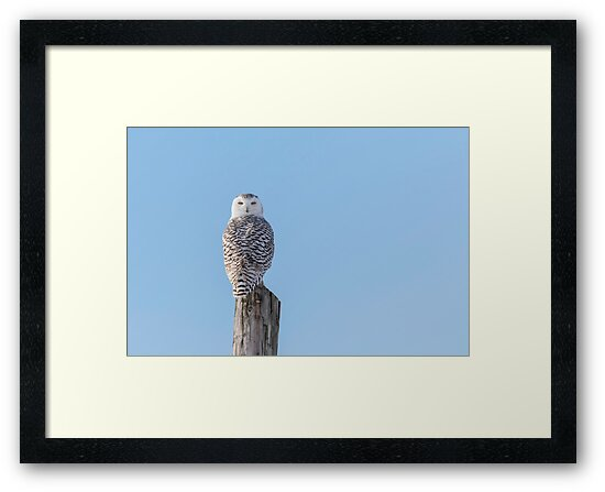 Snowy Owl 2018-6 by Thomas Young
