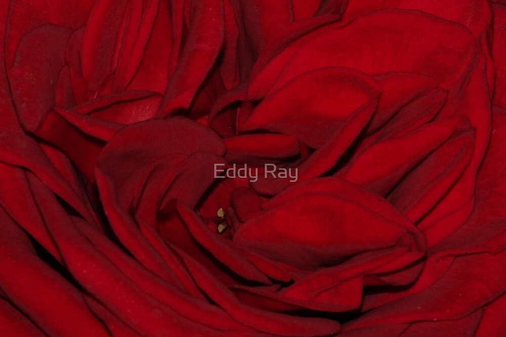 Red rose passion by Eddy Ray