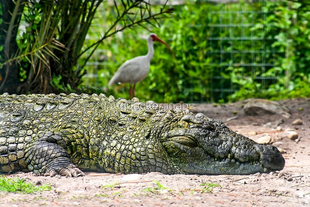 Alligator and Bird by quackersnaps