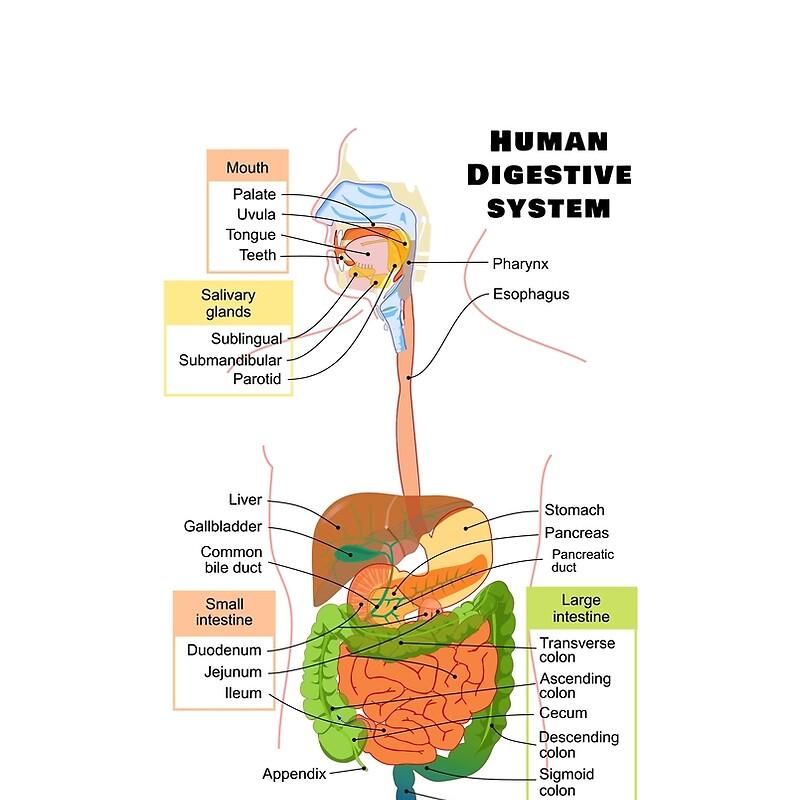 Camisetas gráficas «Diagrama del sistema digestivo humano» de ...