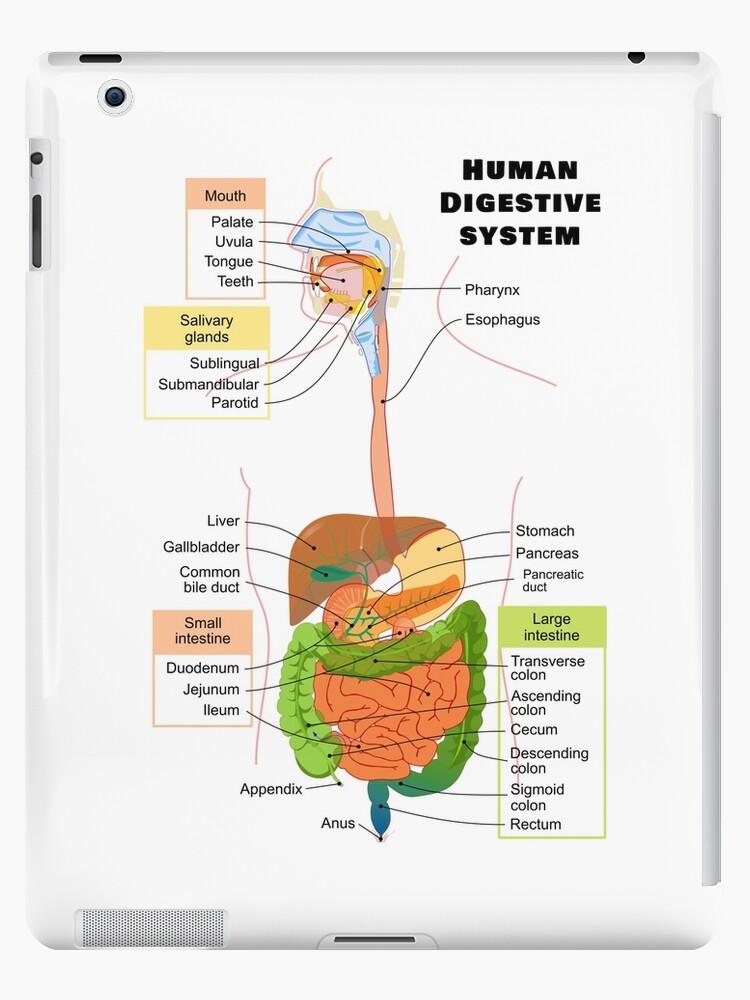 Vinilos y fundas para iPad «Diagrama del sistema digestivo humano ...