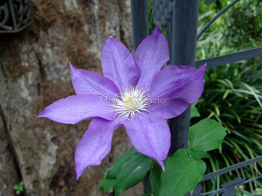 Clematis by May Lattanzio
