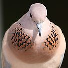Cooing Dove  by David Clark