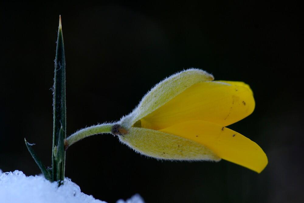 Thsitle Flower by Robert Kendall