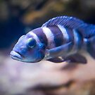African Cichlid 2 by Chris Porteous