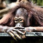 Orangutan by Carole-Anne