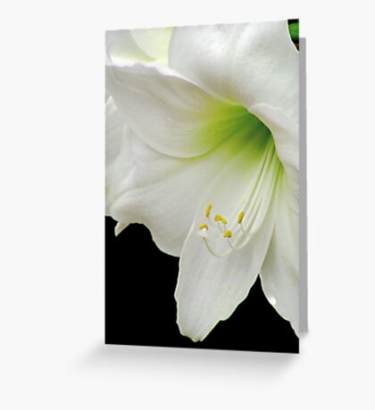White Amaryllis Greeting Card