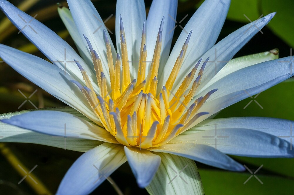 Blue Water Lily by SusanAdey