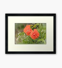 Orange poppy flower blossoms Framed Print