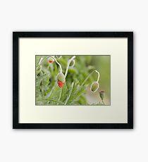 Orange poppy flower buds Framed Print