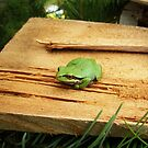 Tree frog on wood plank by TheKoopaBros