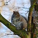 Squirrel on tree branch by OurKev