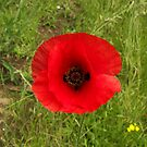 Red Poppy by TheKoopaBros