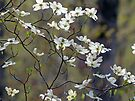 Flowering Dogwood by FrankieCat