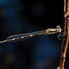 Wandering Ringtail Damselfly by Andrew Trevor-Jones