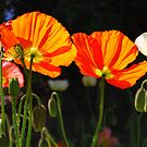Poppies in the sun by Lisa Sarsfield