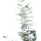 EUCALYPTUS WHITE 2 by Monika Strigel®