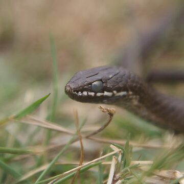 Whitelipped snake Clowdy eyes Due to slough (Shed) by MickThow