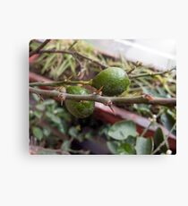 A couple of raw lemons along with the spikes on the plant Canvas Print