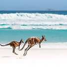 Kangaroos at Lucky Bay by Paul Fleming