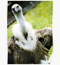 Posing Vulture Poster