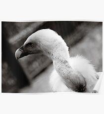 Blue Vulture Poster