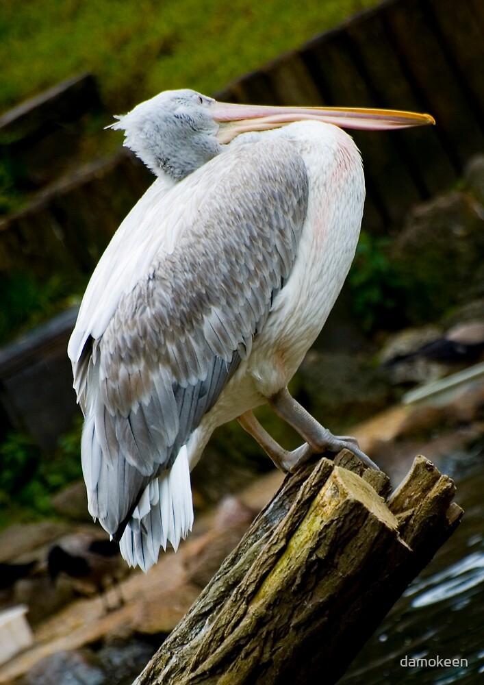 Crooked Pelican by damokeen