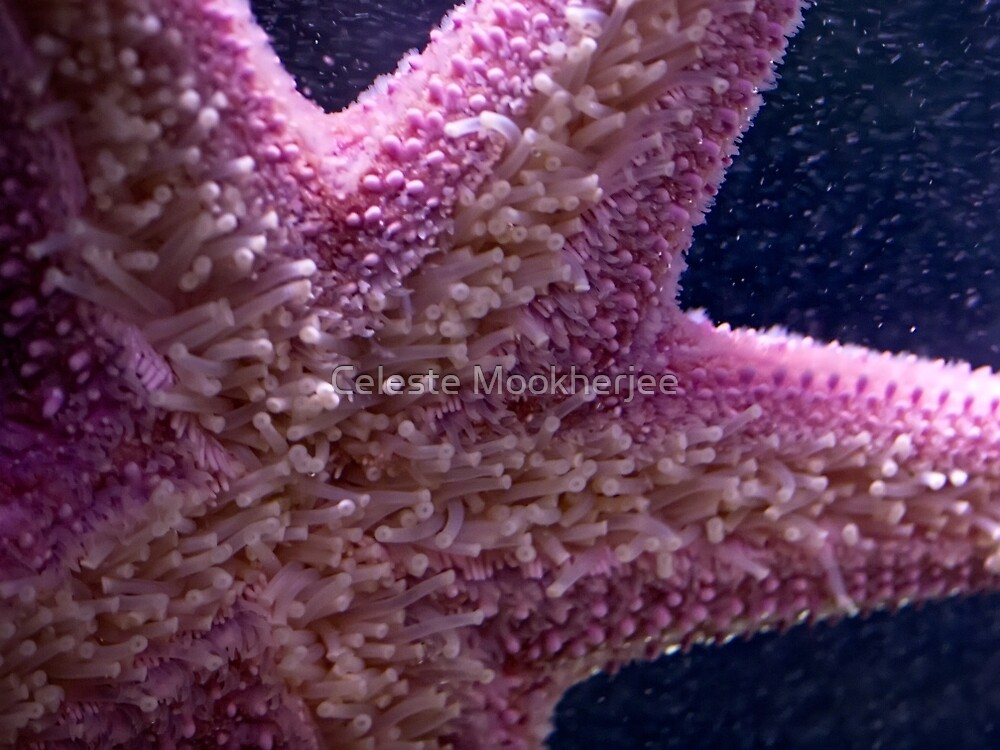 Pink sea star by Celeste Mookherjee