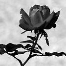 Roses Of Ringling ~ Part One by artisandelimage