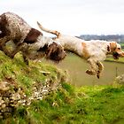 Italian Spinoni Leaping off a Long Barrow by heidiannemorris