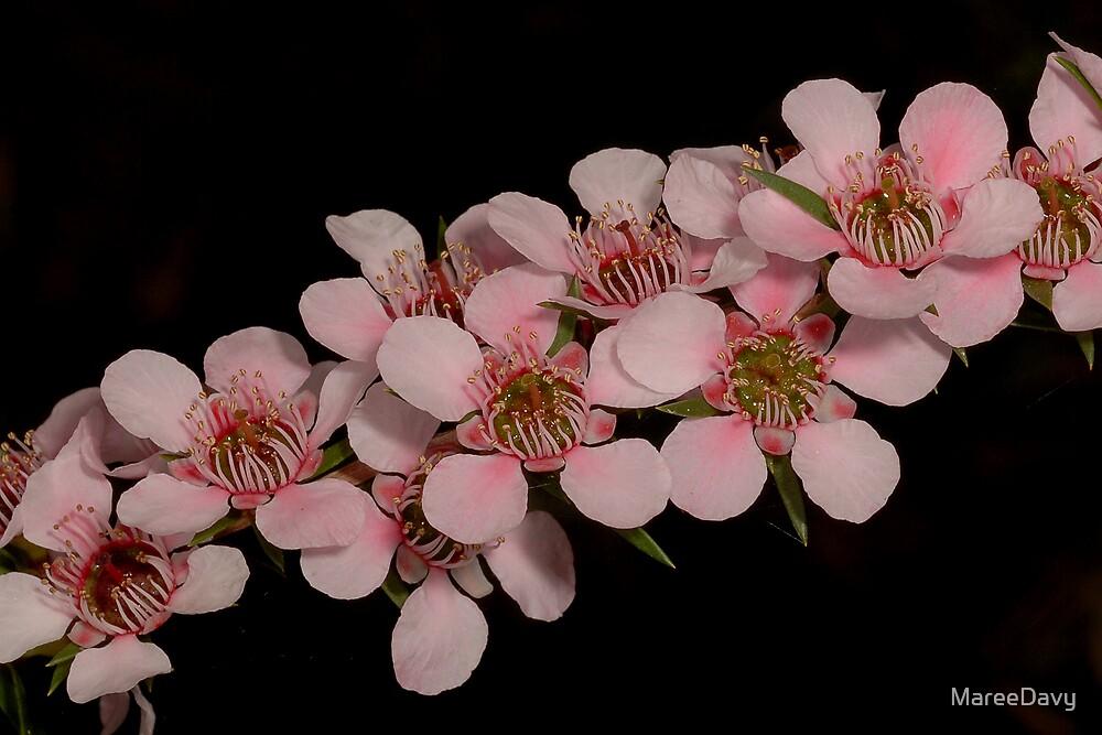'Pink Cascade' Tea-Tree by MareeDavy