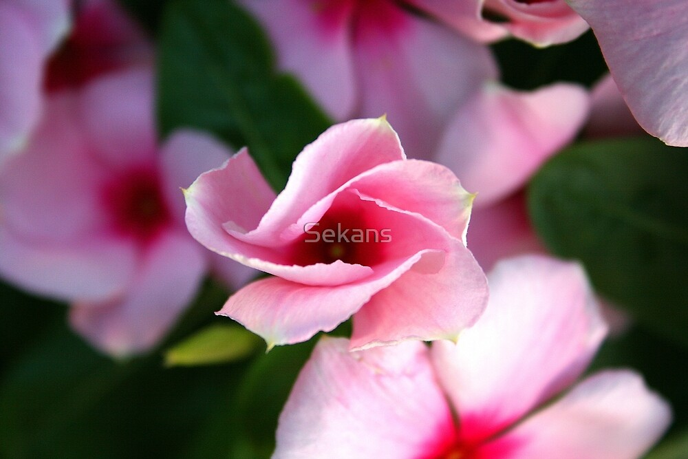 Pink Flower by Sekans