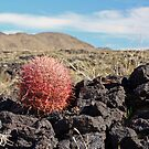 Ferocactus on lava by Chris Clarke