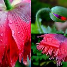 Faces of a Poppy ! by Elfriede Fulda