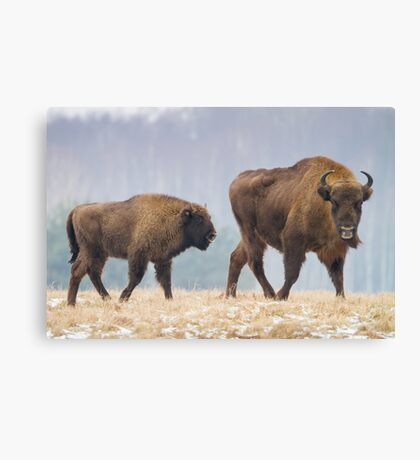 Cow and a calf Canvas Print