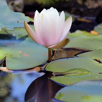 Waterlily by JakkiOakes