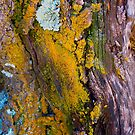 lichens on tree trunk, Mauna Kea by Lawrence Taguma