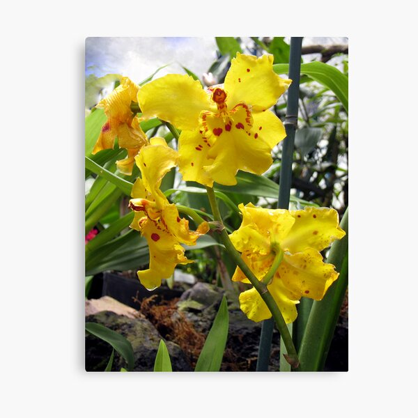 Scolding Yellow Orchid Canvas Print
