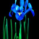 Blue Iris by Anthony Thomas