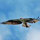 Osprey by Mark Weaver