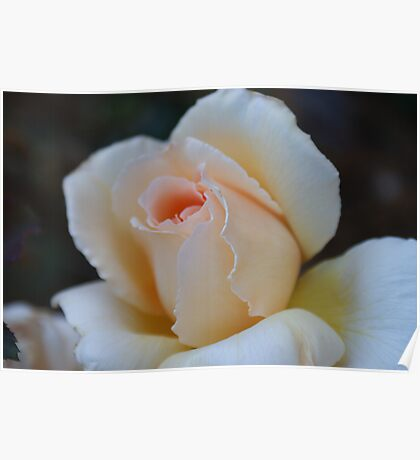 Peach Colour Rose. Poster