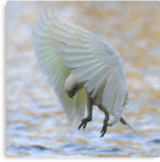 Corella Hover by Phillip Weyers