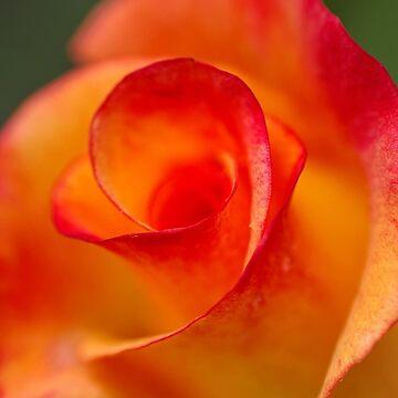 Rio Samba -my garden, Ottawa, Ontario by Destined2see