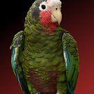 Cuban Amazon Parrot by DebiDalio