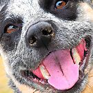 Cattle Dog Smile by Fotography by Felisa ~