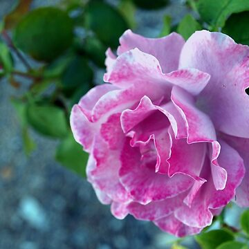 Mottled pink rose and bud by rbb2676