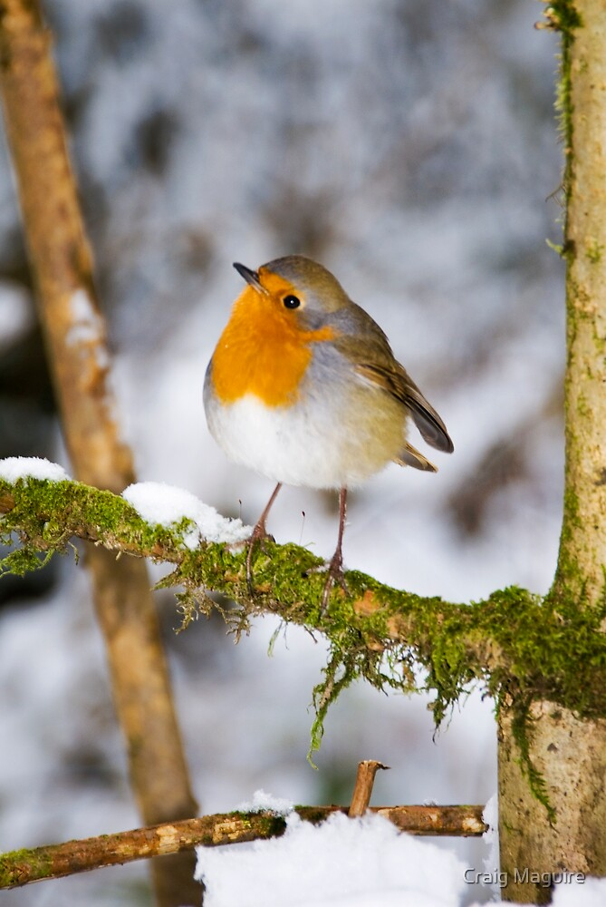 The Robin  by Craig Maguire