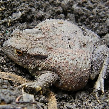 Brown Toad by LoneAngel