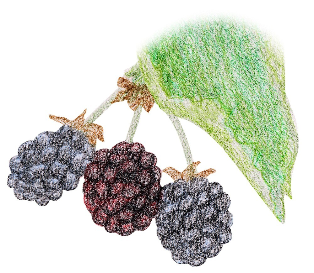 Blackberries by Linda Ursin